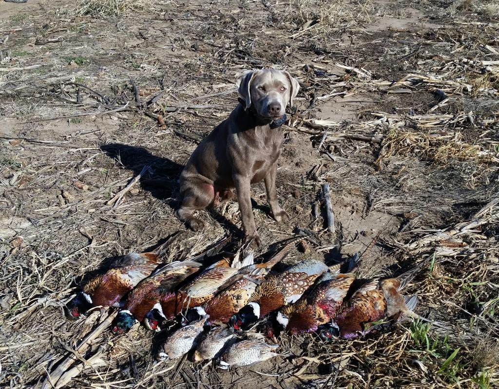 pheasant hunt 2014-1015